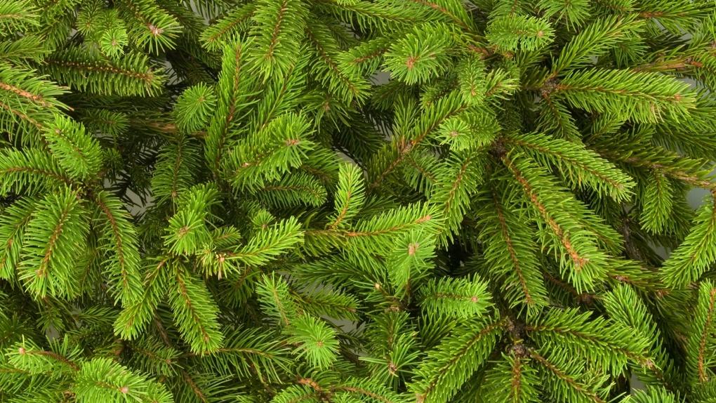 Для омичей подготовили 37 тысяч новогодних елок