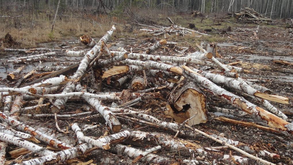 Бывшую сотрудницу «Омского лесхоза» осудили за вырубку 97 берез