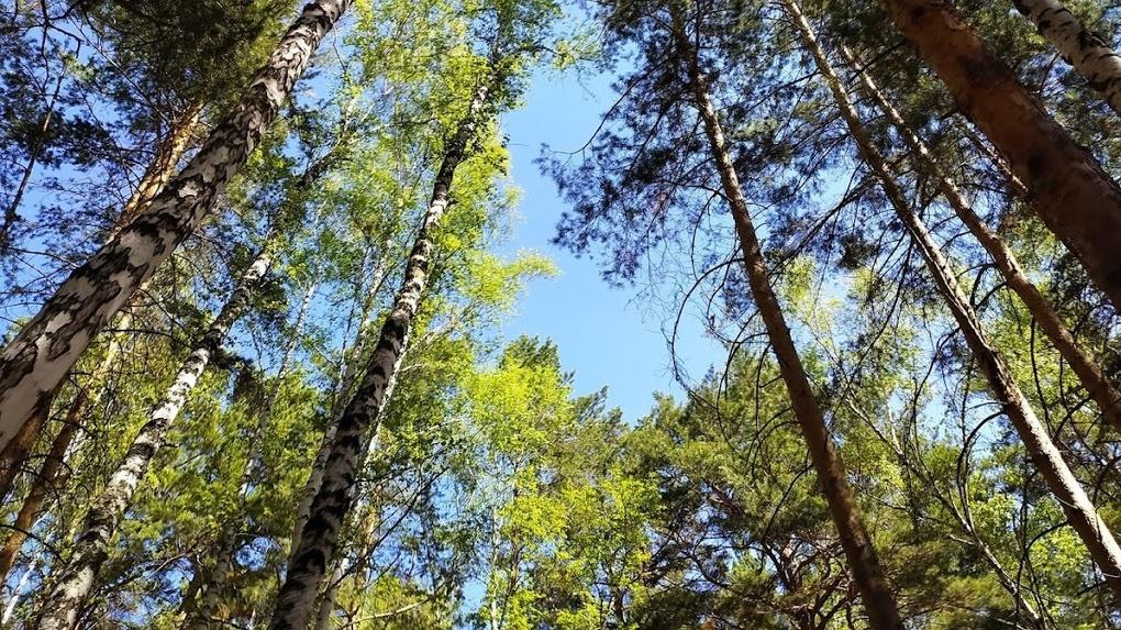 Компания «Кедр», построившая скандальный ТЦ в Омске, просит снести 29 деревьев в парке 30-летия ВЛКСМ