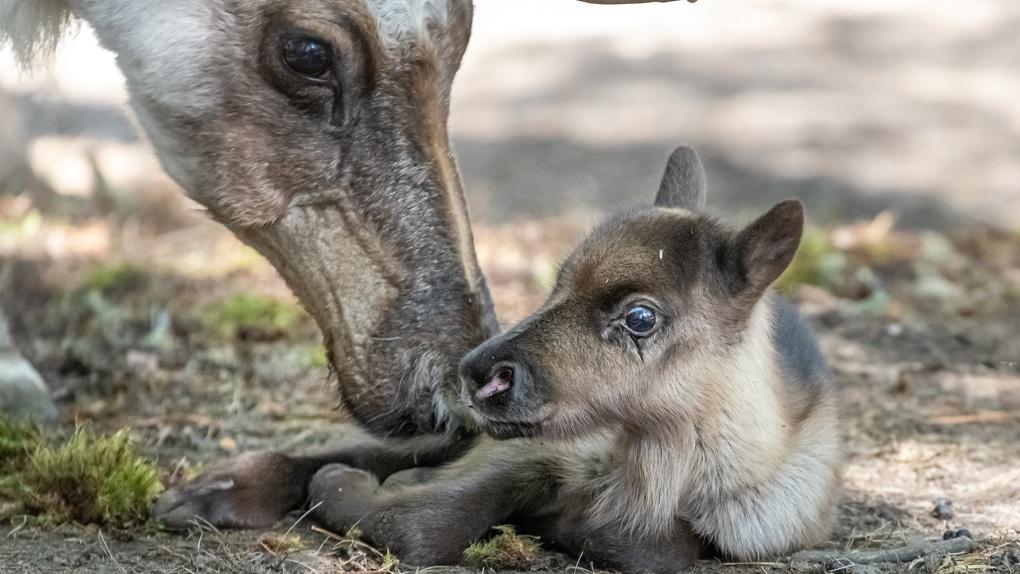 В Новосибирском зоопарке родился детеныш у северных оленей