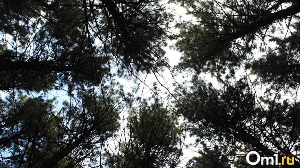 Более 200 деревьев вырубят под Новосибирском ради проведения газопровода