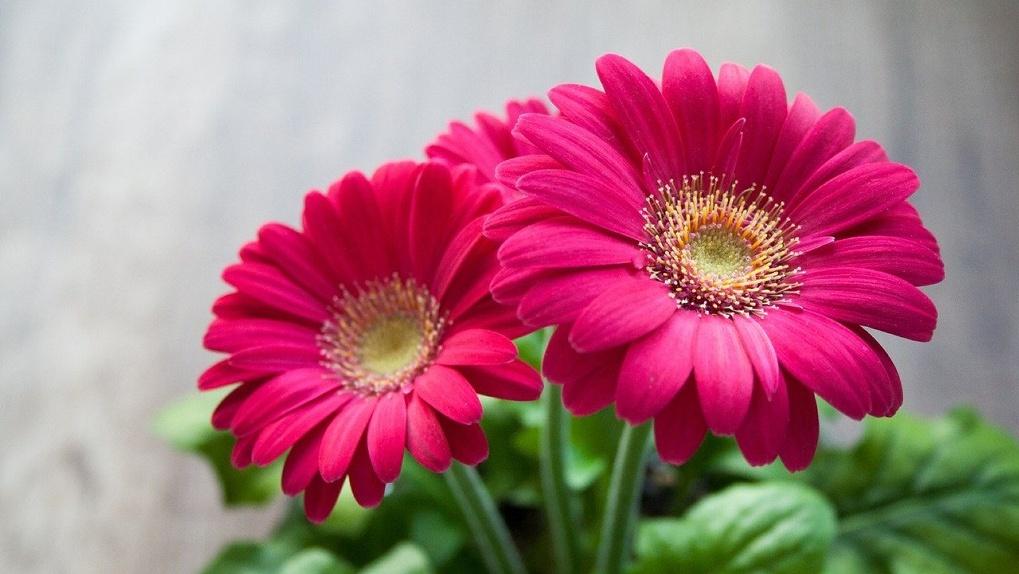 В Новосибирске уничтожили 150 заражённых итальянских цветов