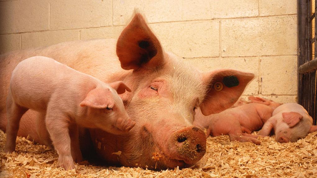 Омским фермерам будут платить за отказ в разведении свиней