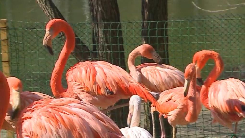 Дитя заката: в Новосибирском зоопарке фламинго набирают розовый цвет