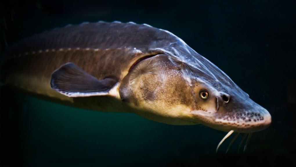 В Омске браконьеры будут платить в десятки раз больше за рыбу
