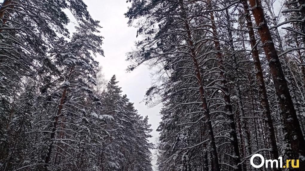 Прокуратура заставила чиновников оградить Новосибирск лесным поясом