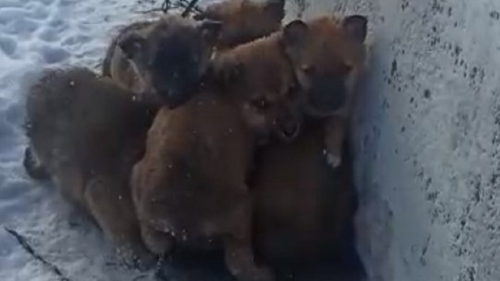 «Жались друг к другу и плакали: новосибирец спас от смерти шестерых щенков