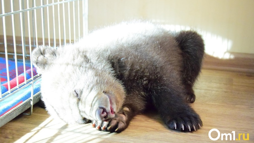Из-за аномально теплой погоды проснулись омские медведи