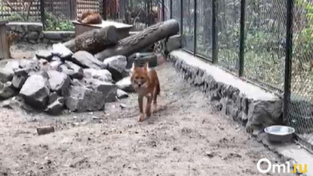 Красный и полярный волки переехали из Новосибирска в Ленинградскую область