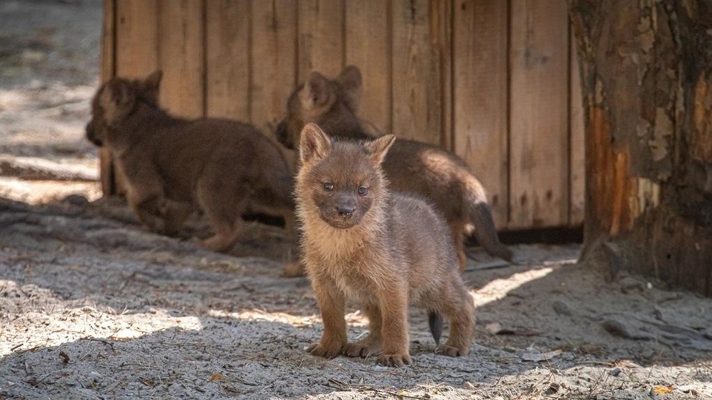 В Новосибирском зоопарке родились шестеро редких красных волчат