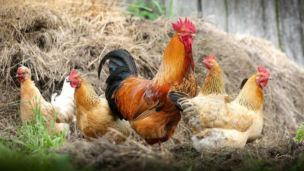 Новосибирцам угрожает птичий грипп из Омска