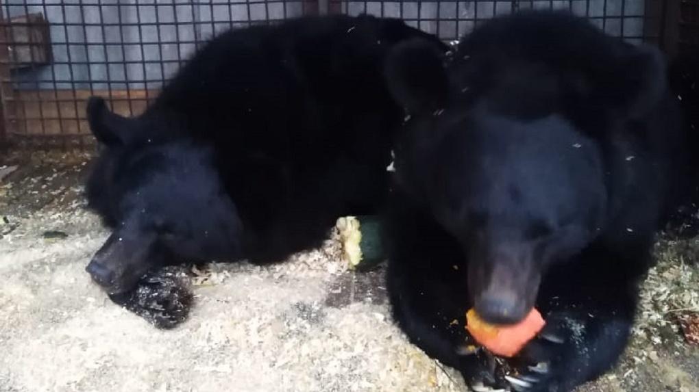 Остались без еды и тепла: четыре цирковых медведя замерзают в посёлке под Новосибирском