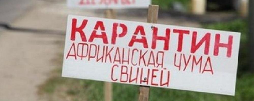 Грозная африканская чума свиней в Омской области: как не заразить своих пятачков?