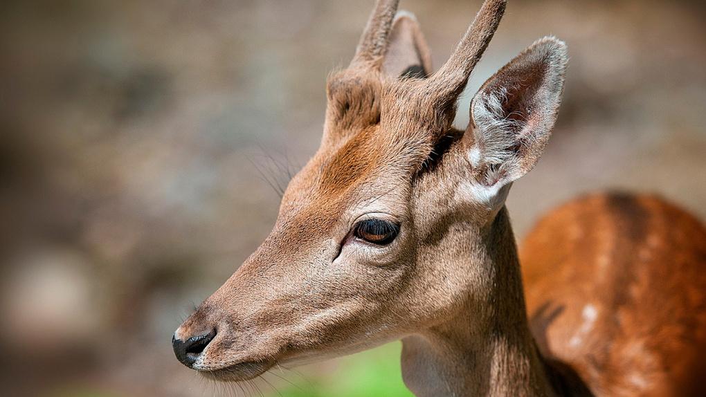 В Омской области браконьер застрелил трех косуль