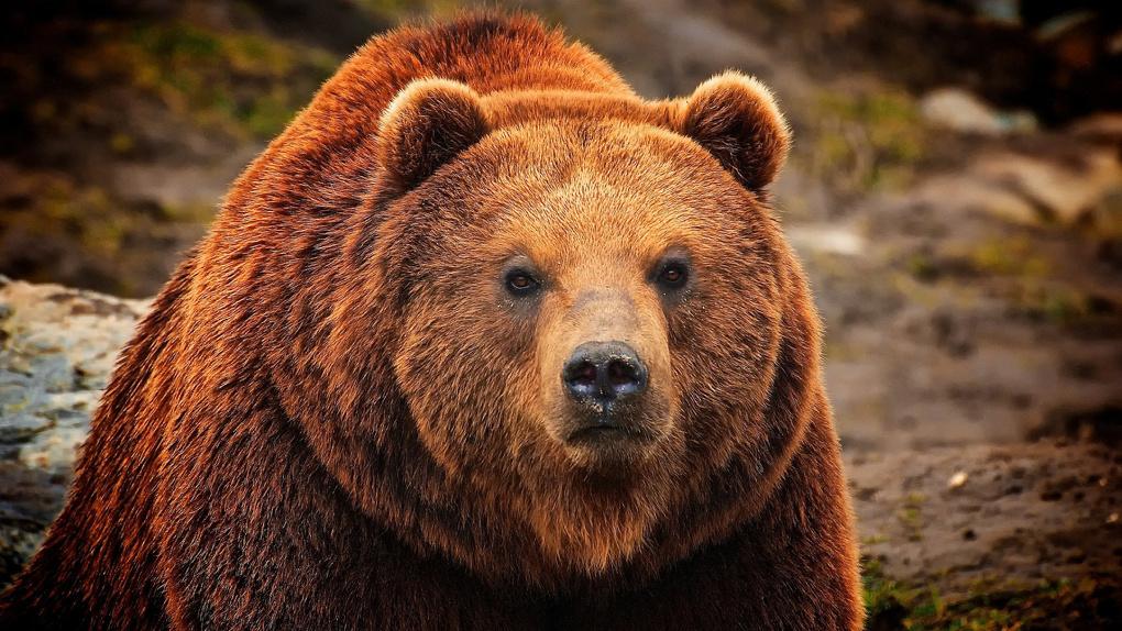 Охотники застрелили медведя, пугавшего жителей деревни в Омской области