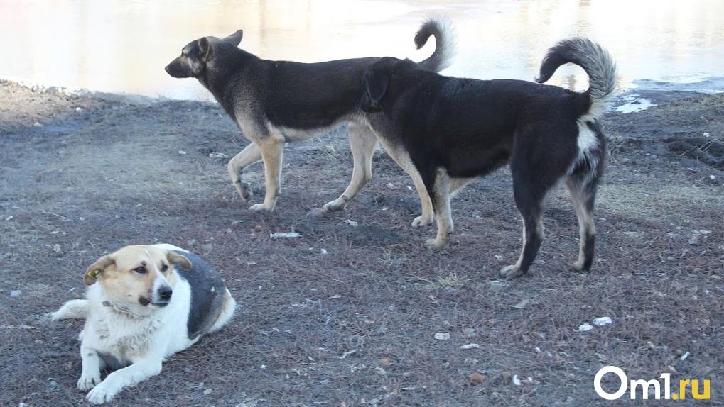 Омичка рассказала, как на неё напала стая из 30 бродячих собак