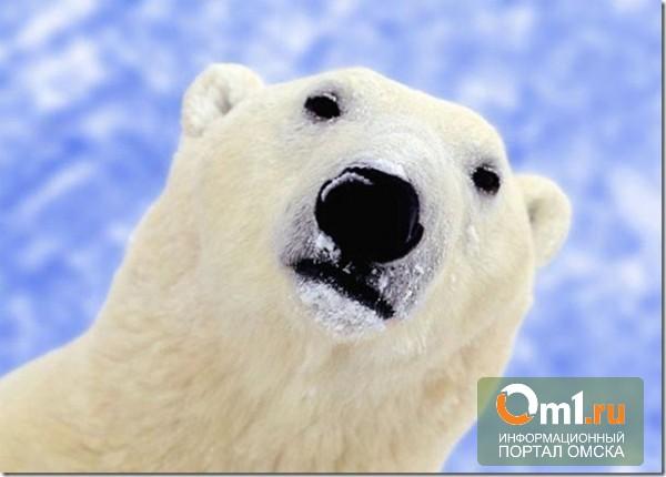 Житель Омской области отправил сам себе по почте шкуру белого медведя