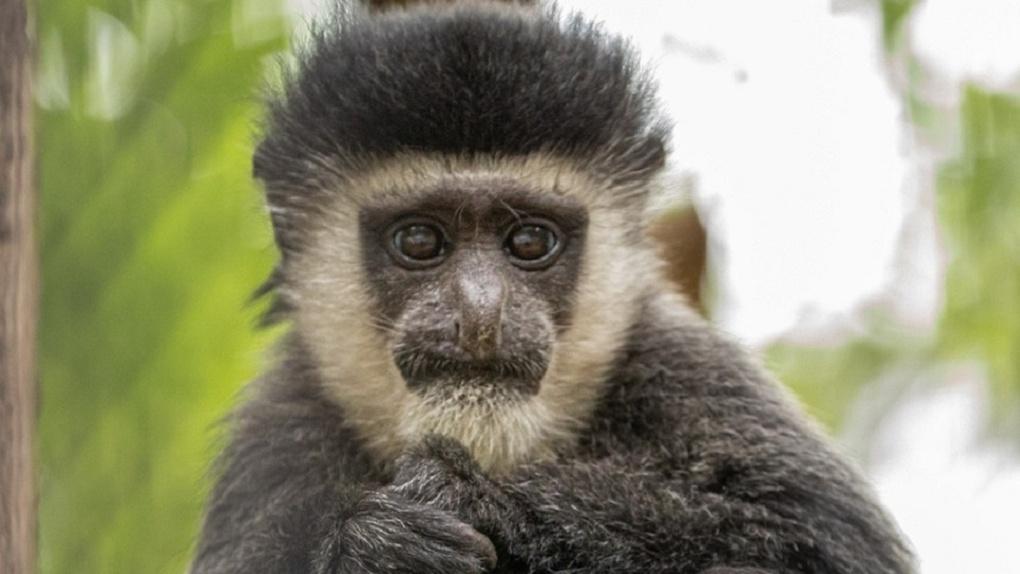 Обезьяны из Новосибирского зоопарка не поделили детёныша