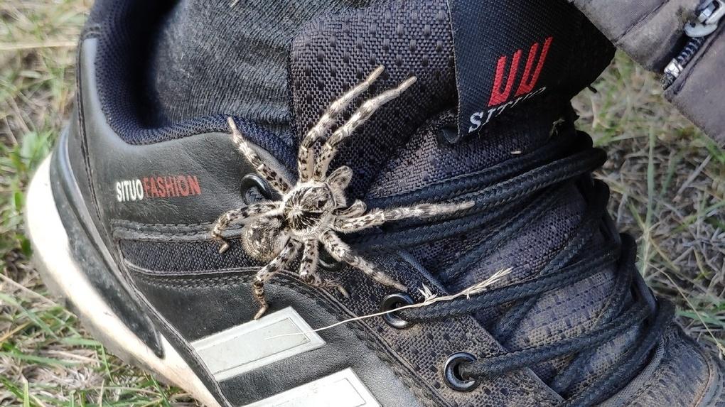 «Лапы выставил и хотел уже прыгнуть». Под Омском завелись огромные пауки, похожие на тарантулов