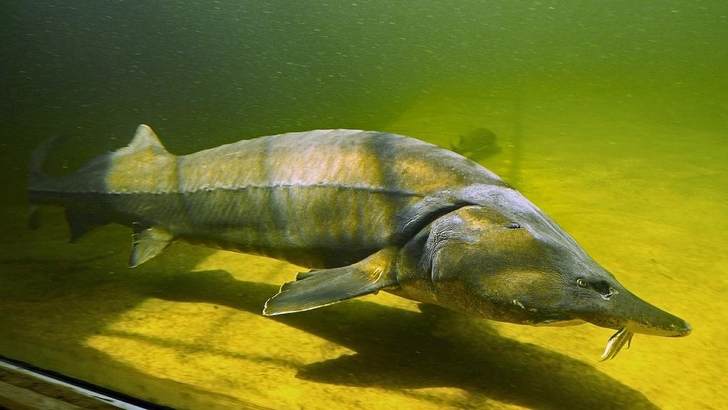 В Омской области браконьеры выловили 40 особей вымирающей рыбы