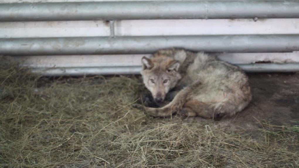 В Омске стая бездомных собак оккупировала детский сад
