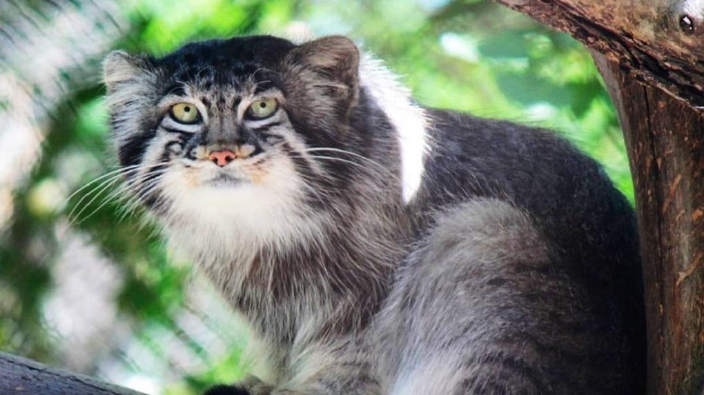 Вы только полюбуйтесь! Семеро манулов из Новосибирского зоопарка отмечают редкую дату