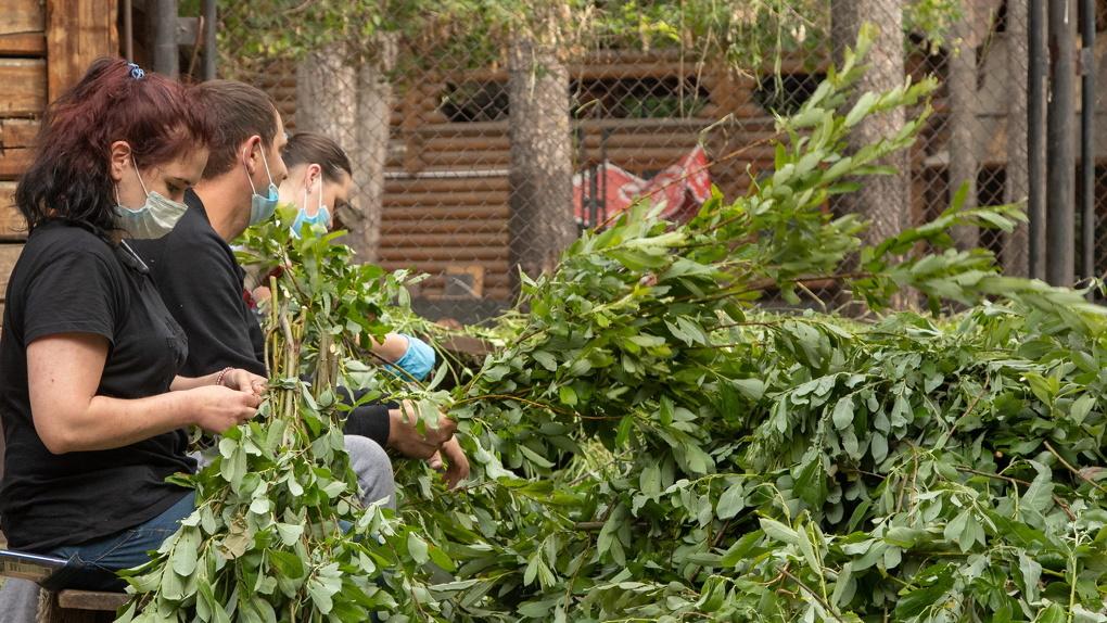Для питомцев Новосибирского зоопарка заготавливают тысячи веников и букетов