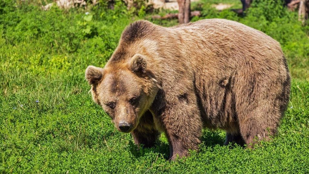 Под Новосибирском дачников напугала огромная медведица