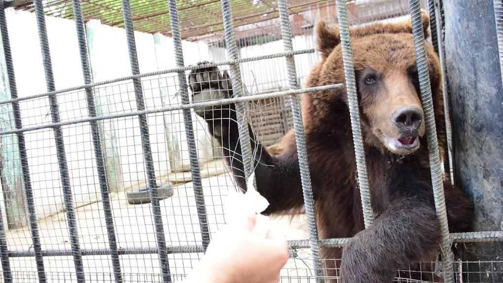 В Большереченском зоопарке не может наесться медведь Кузя