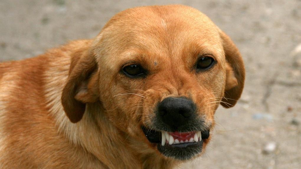 Под Омском бродячая собака искусала лицо маленькому ребенку