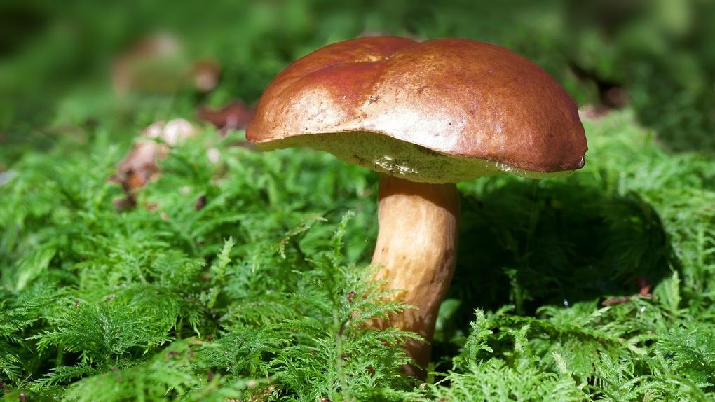 Новосибирские биологи рассказали, стоит ли ждать урожай грибов в этом году