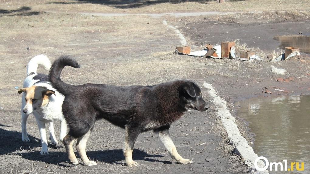 Под Омском бродячие собаки напали на девочку. Чиновников намерены привлечь к ответственности