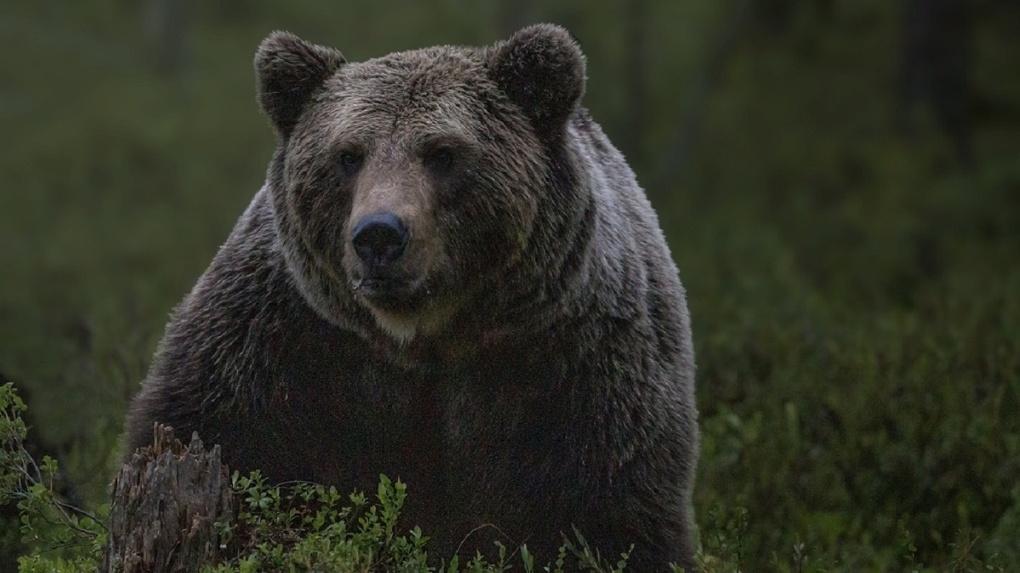Полицейские остановили поиск сбежавшего медведя в новосибирском дендропарке