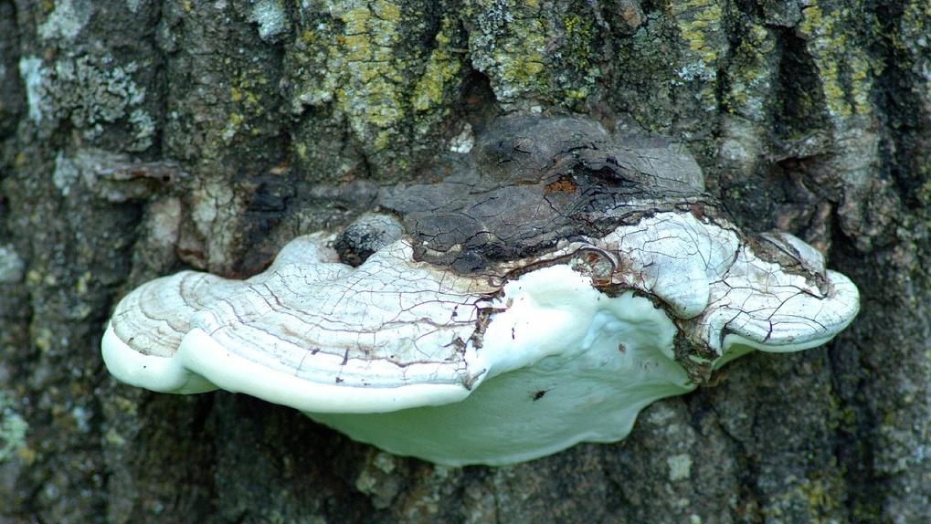 Новосибирские ученые назвали грибы, способные победить ВИЧ и оспу