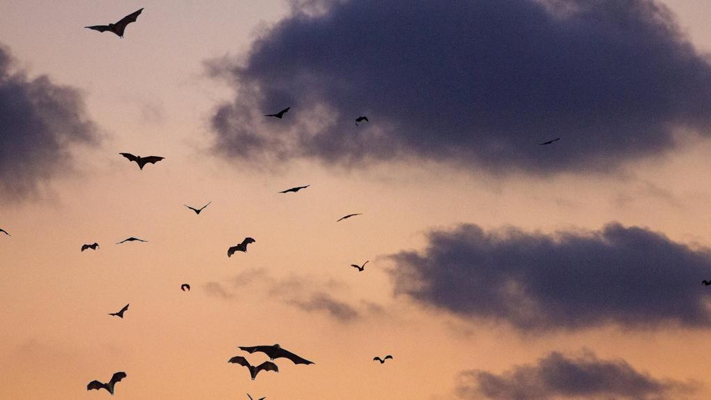 Омских летучих мышей проверят на коронавирус