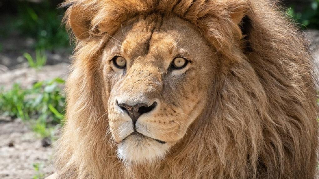 Лев из Новосибирского зоопарка нашёл невесту