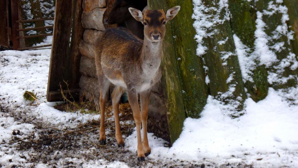 В Большереченском зоопарке снегу больше всего обрадовались медведи, овцебыки и олени – ФОТО