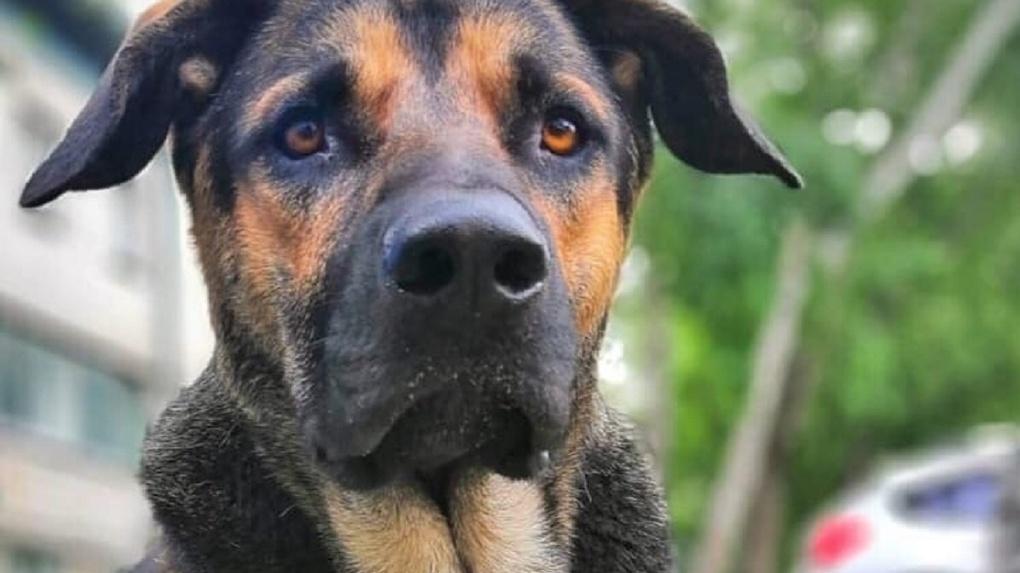 Собаку скорой помощи со встроенным чипом ищут в Новосибирске