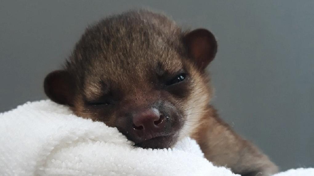 В Новосибирском зоопарке искусственно выкармливают звереныша кинкажу