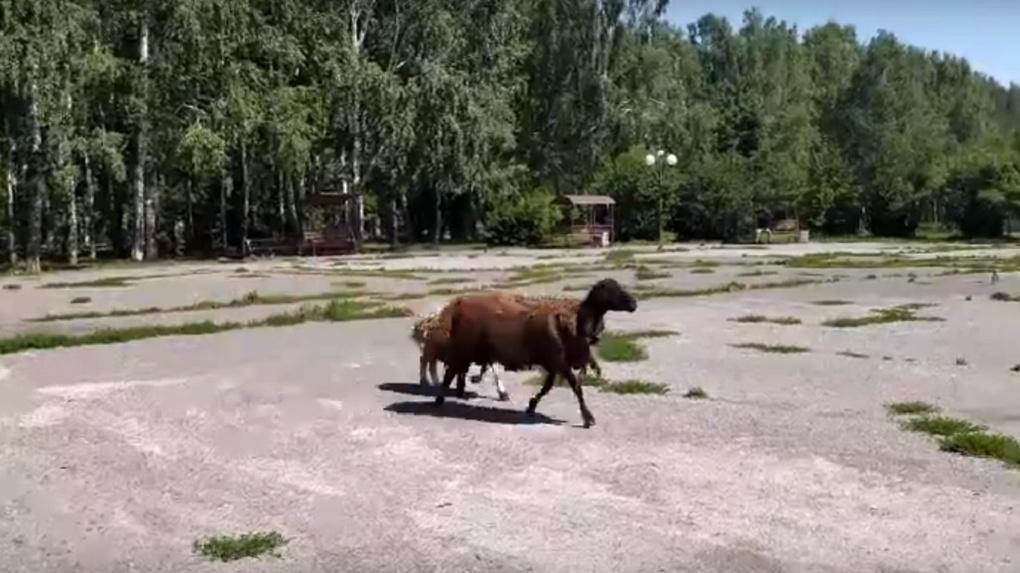 «Пытались спасти»: погоню за бараном и овцой устроили на дорогах Новосибирска